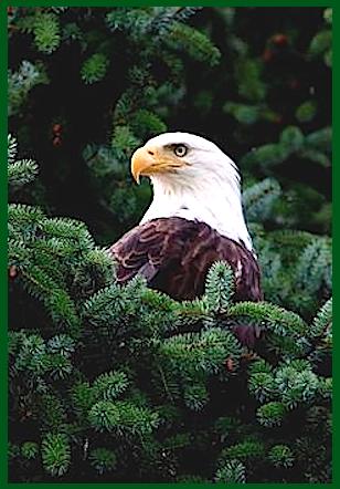eagles-head-in-pine-tree-f