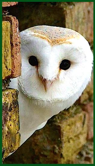 peeka-boo-owl-f