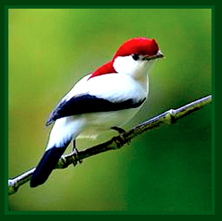 red-white-and-black-bird-ff