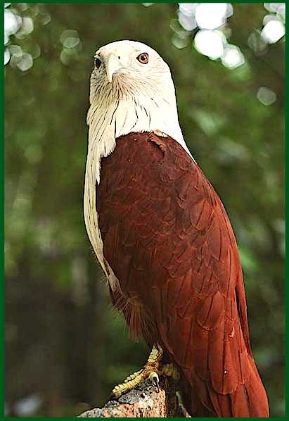 tall-brown-eagle-f