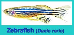 image-of-zebrafish-f