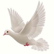 white-dove