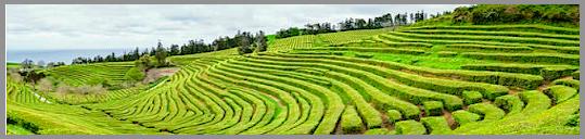 tea-plantation-f
