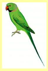 indian-ring-neck-parrot-f