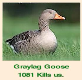 graylag-goose-1081-f