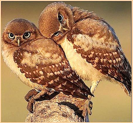 2-cosy-owls-f