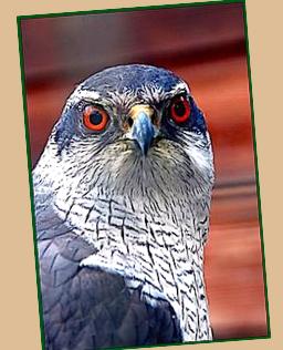 pin-up-eagle-ff