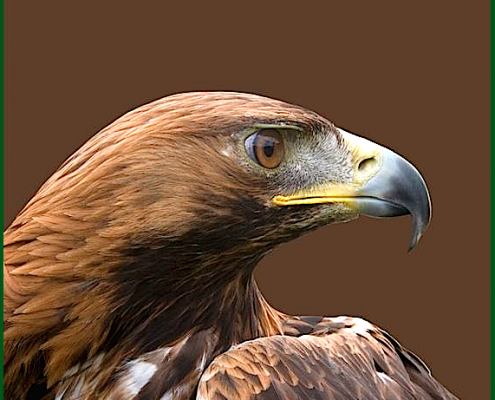 eagle-head-looking-right-f