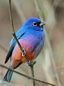 blues-red-bird