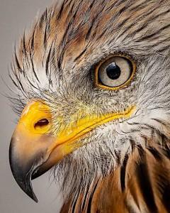 eagle-head-yellow-beak