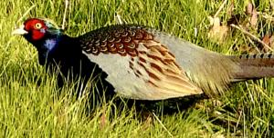 green-pheasant-300x152